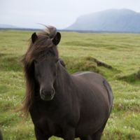 Icelandic_Pony_Hill.jpg