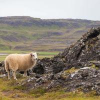 Oveja_islandesa,_Grábrók,_Vesturland,_Islandia,_2014-08-15,_DD_097.JPG